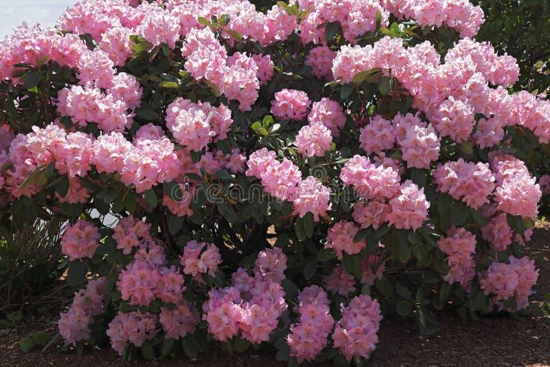 桃红色杜鹃花开花新鲜的灌木  库存照片