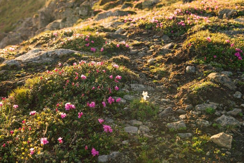 桃红色杜鹃花开花的地毯在山开花 库存图片