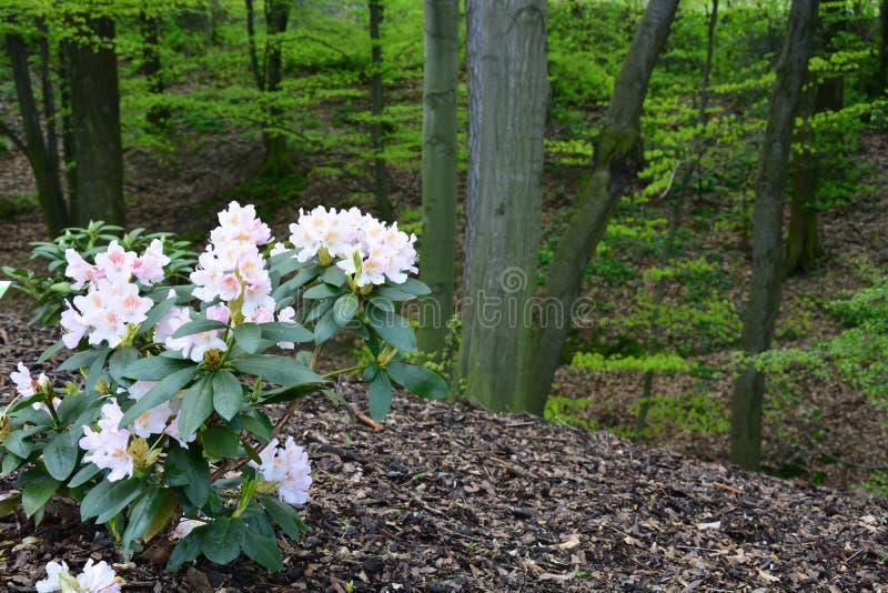 桃红色杜鹃花开花的灌木在绿色公园的背景的 免版税库存照片