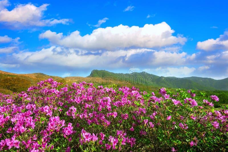 桃红色杜鹃花花和蓝天在山, Hwangmaesan美好的风景在韩国 库存照片