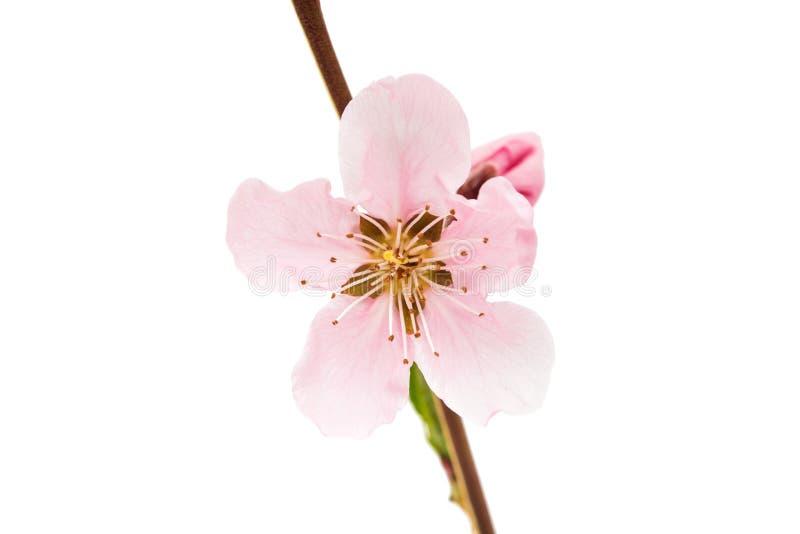 桃红色桃子开花 库存图片