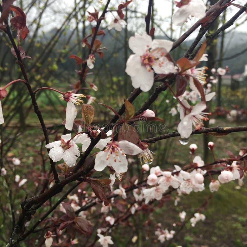 桃红色桃子 免版税库存照片