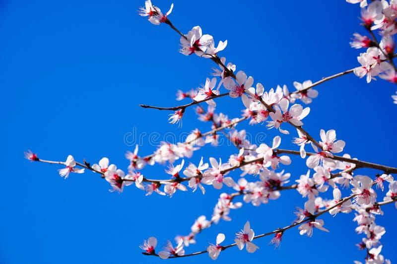 桃红色桃花有天空蔚蓝背景  库存照片