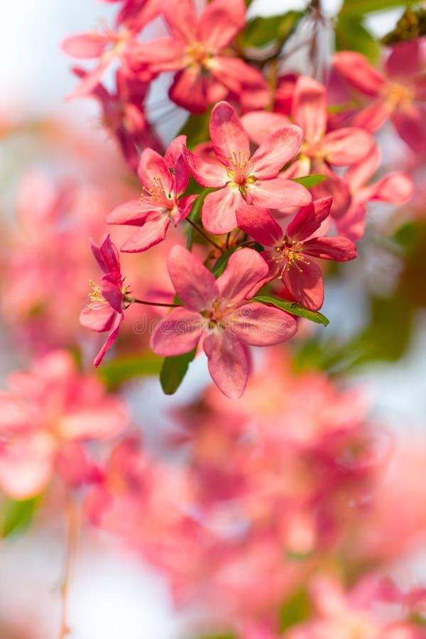 桃红色樱桃树分支开花在美好的春季背景中 库存图片