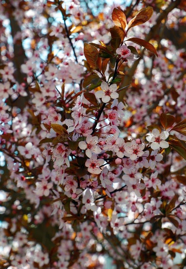 桃红色樱桃树开花接近的看法  免版税库存图片