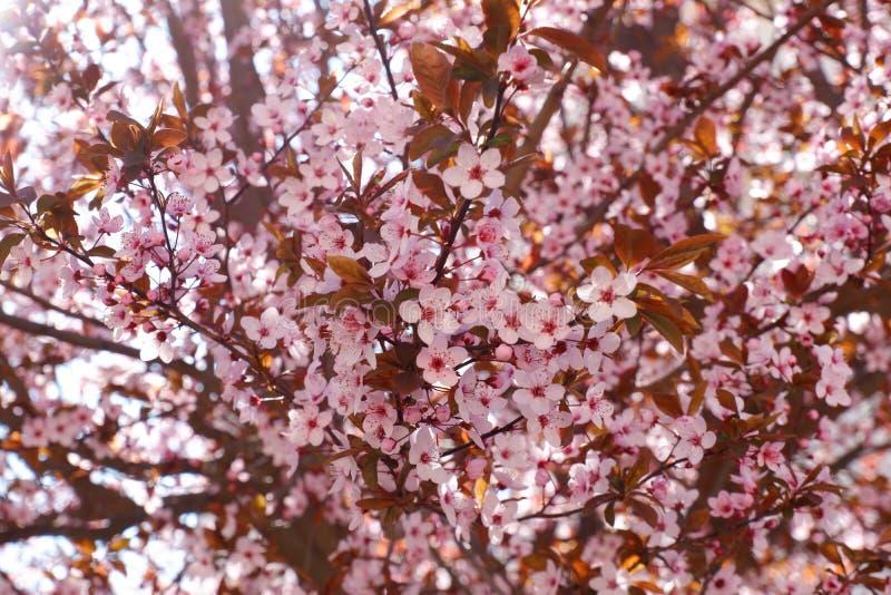 桃红色樱桃树开花接近的看法  库存图片
