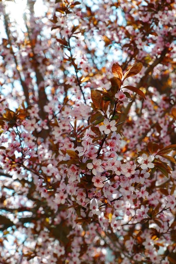 桃红色樱桃树开花接近的看法  图库摄影