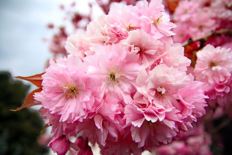 桃红色樱花在庭院里 免版税库存照片