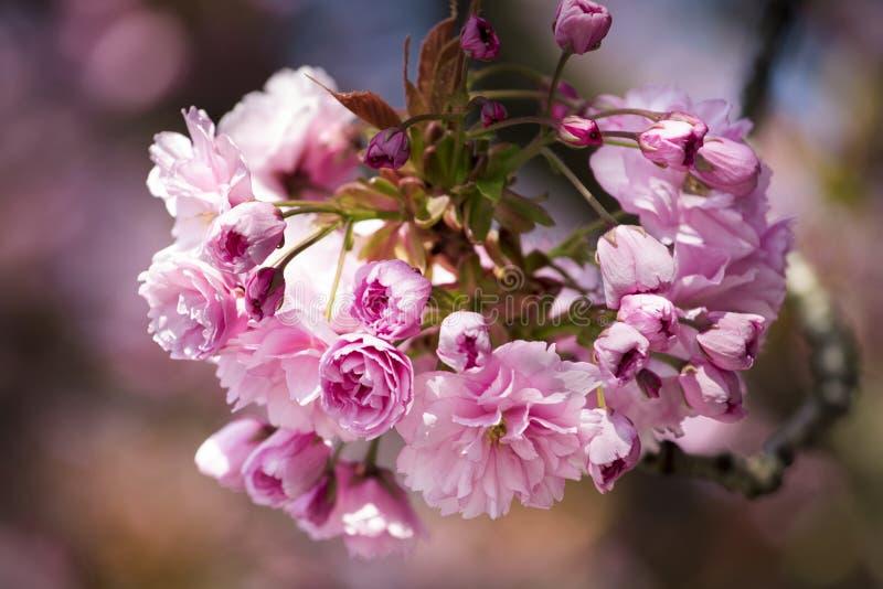 桃红色樱花特写镜头在春天开花 库存图片