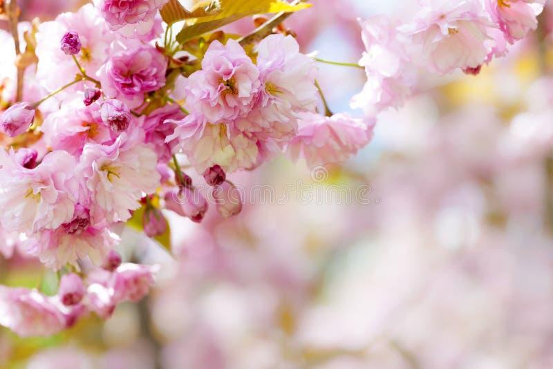 桃红色樱花背景 库存照片