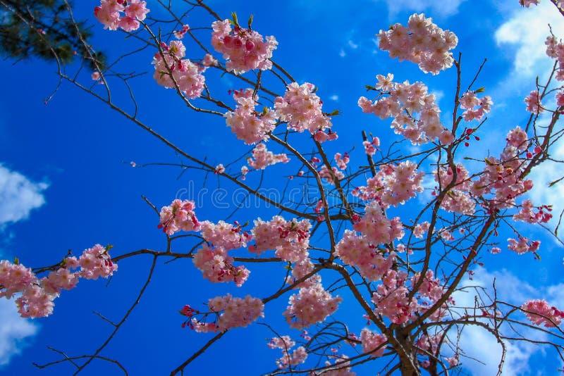 桃红色樱花花和日本天空蔚蓝 免版税库存照片