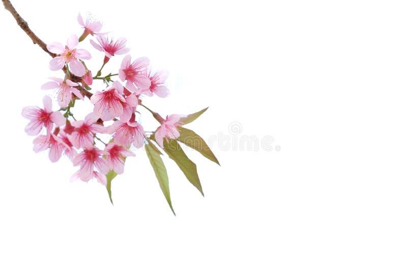 桃红色樱花,被隔绝的佐仓花 免版税库存照片