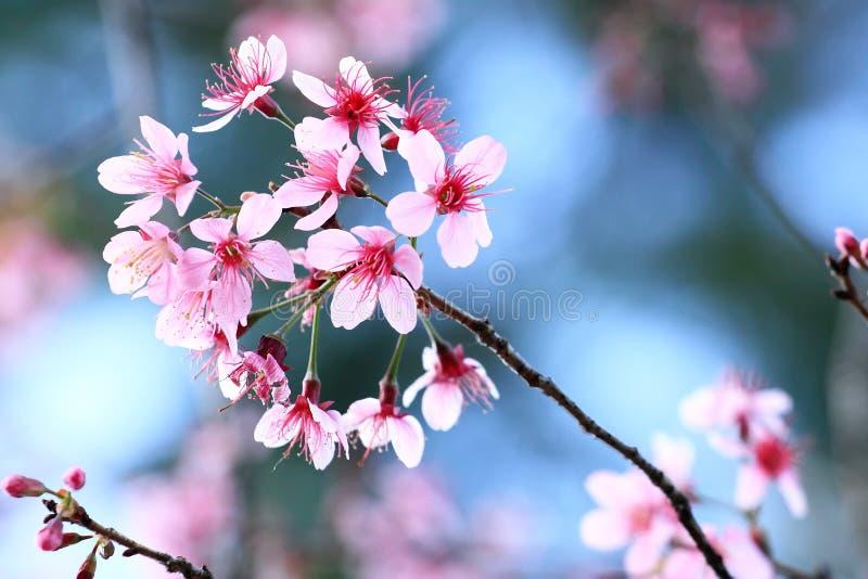 桃红色樱花 库存图片