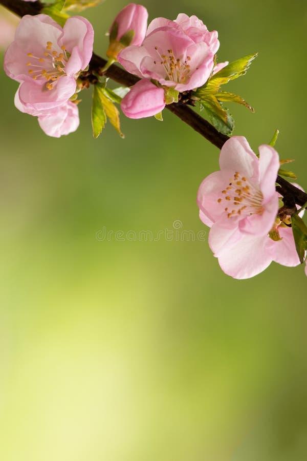 桃红色樱花 免版税库存照片