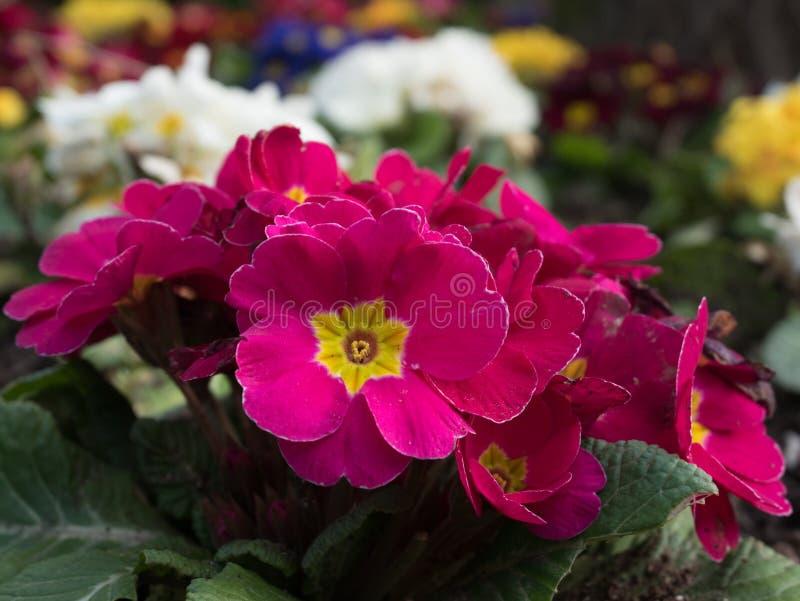 桃红色樱草属在庭院里 免版税库存图片