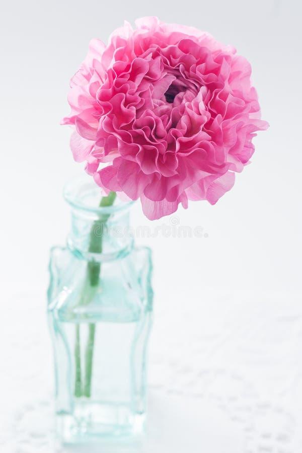 桃红色毛茛属 免版税图库摄影
