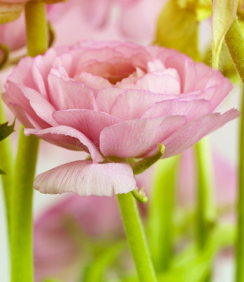 桃红色毛茛花 库存图片