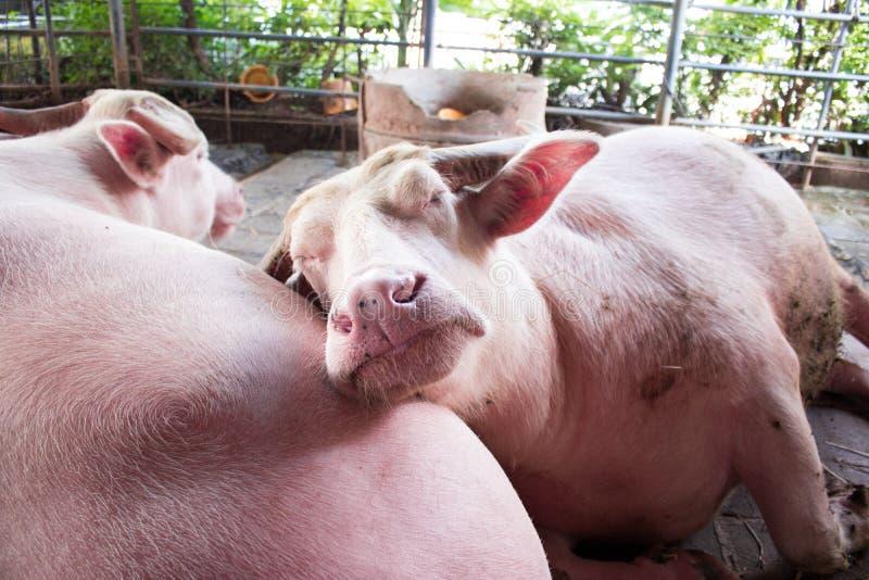 桃红色水牛或白变种水牛 免版税图库摄影