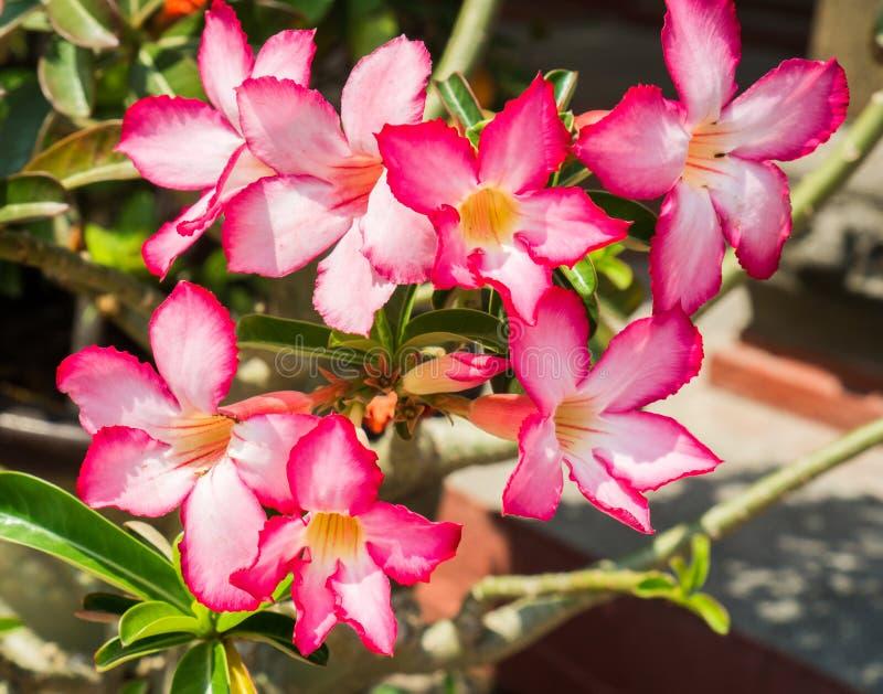 桃红色沙漠座莲,飞羚百合或者嘲笑杜娟花与科学名字作为Adenium :一家庭菜园的普遍的花 免版税库存照片