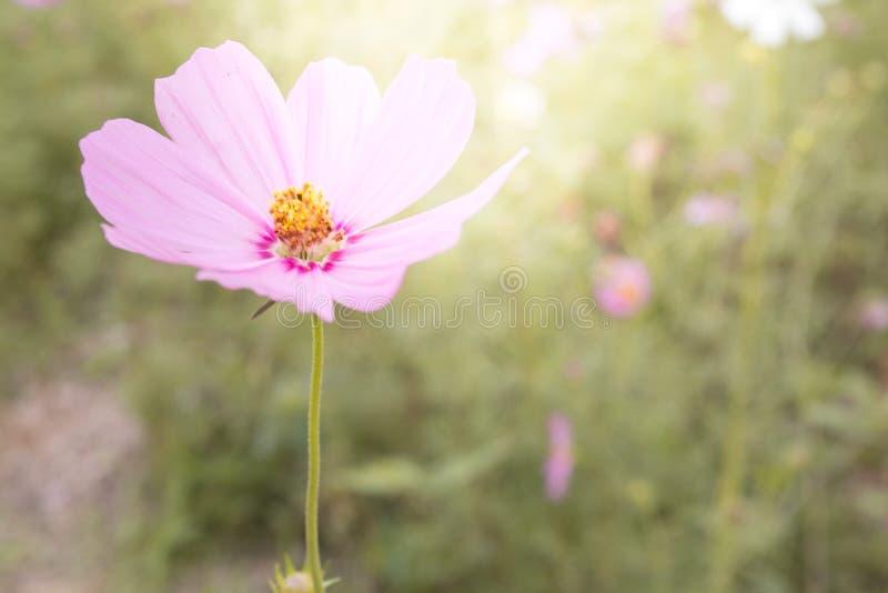 桃红色波斯菊在后花园里开花绽放 免版税图库摄影
