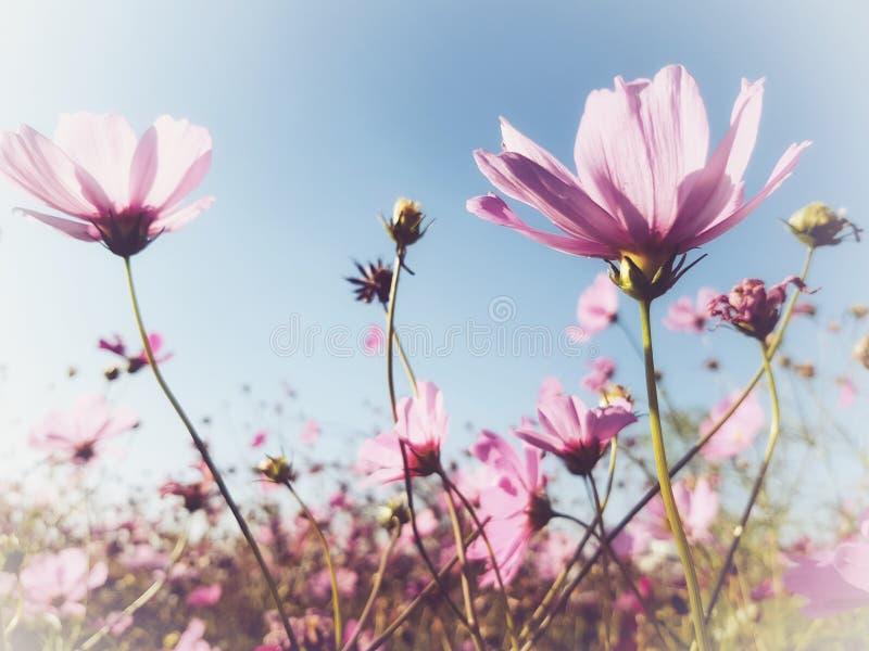 桃红色波斯菊在庭院里 库存照片