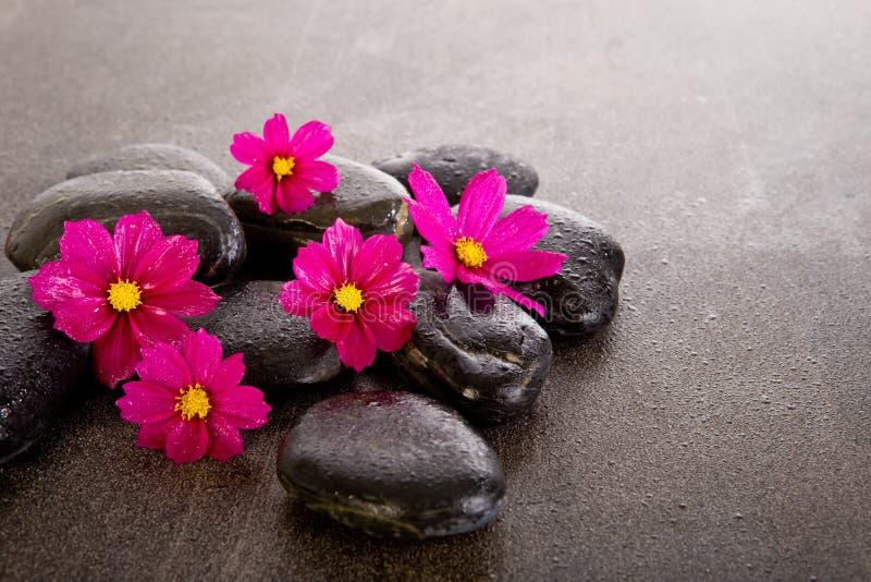 桃红色波斯菊开花与在板岩背景的黑按摩岩石 免版税图库摄影