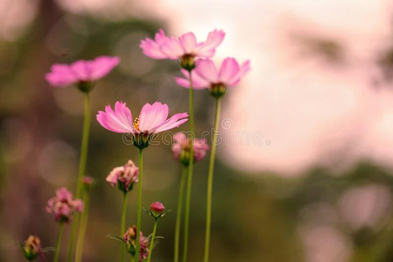 桃红色波斯菊花在好日子,葡萄酒口气样式图象背景 库存照片