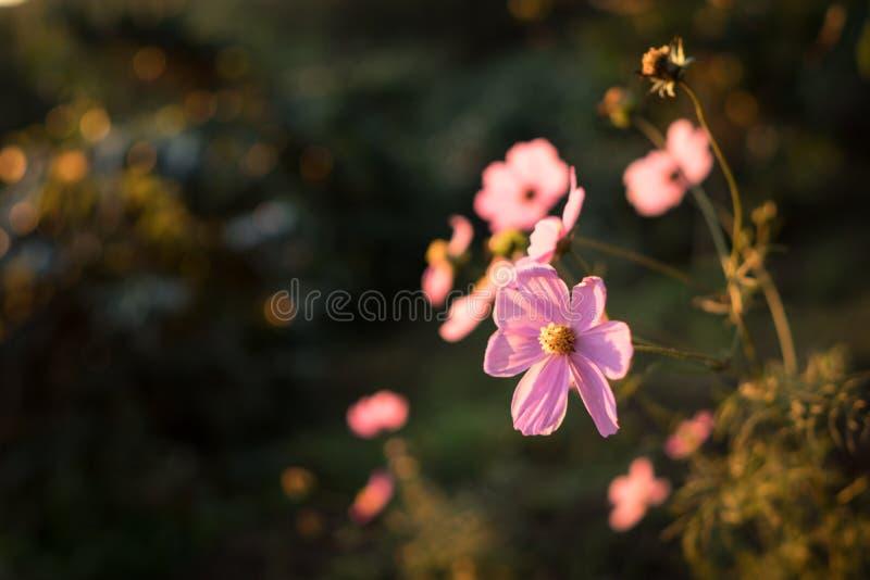 桃红色波斯菊花在早晨 库存照片