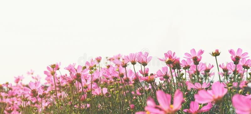 桃红色波斯菊花在白色背景的草甸 库存照片