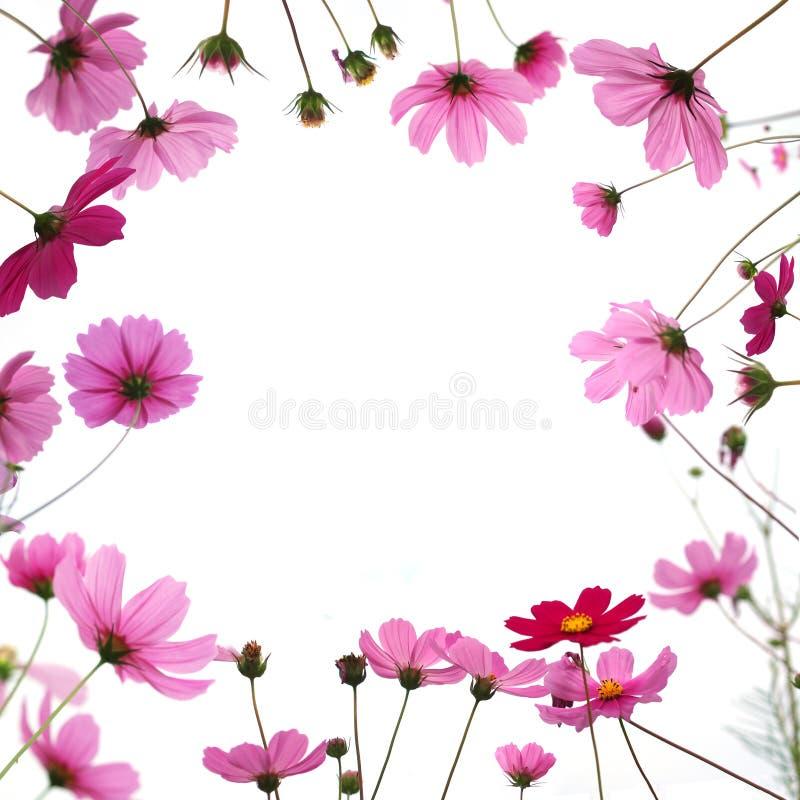 桃红色波斯菊花在白色背景隔绝的草甸 免版税库存照片