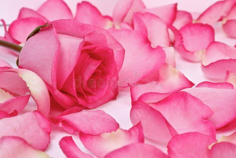 桃红色浪漫上升了 库存图片