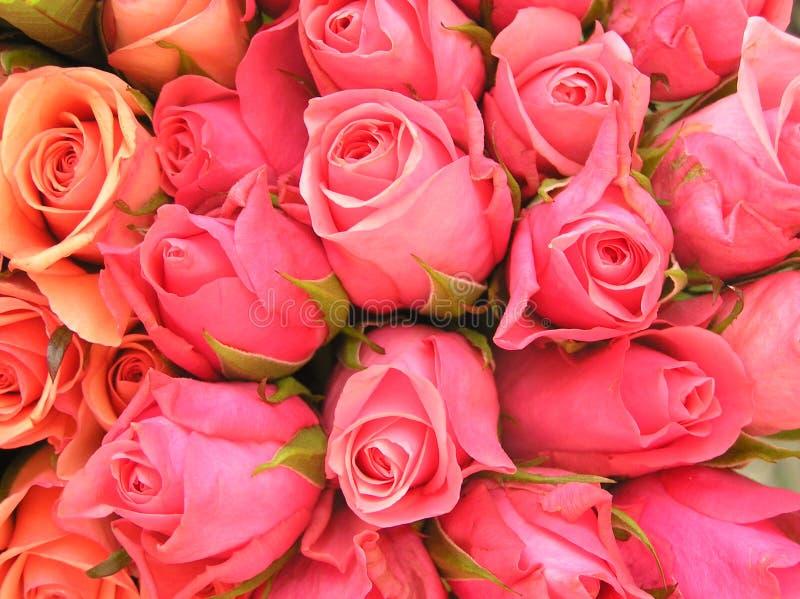 桃红色浪漫玫瑰 免版税库存照片