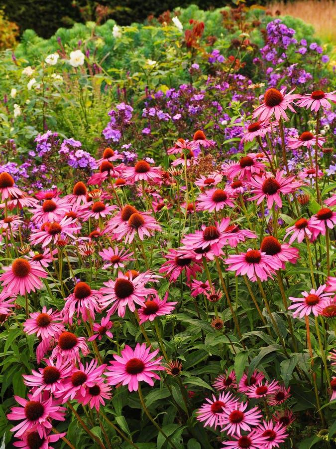桃红色海胆亚目开花在前边英国村庄庭院边界  免版税图库摄影