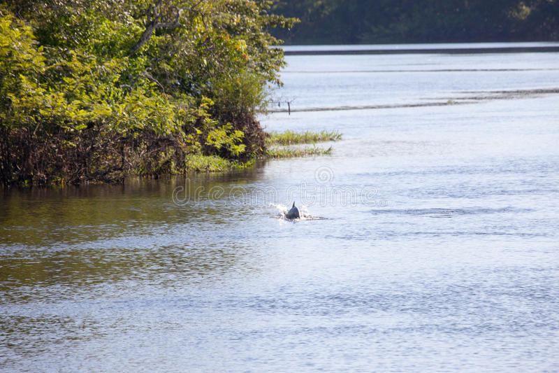 桃红色海豚,亚马孙河,巴西 库存照片