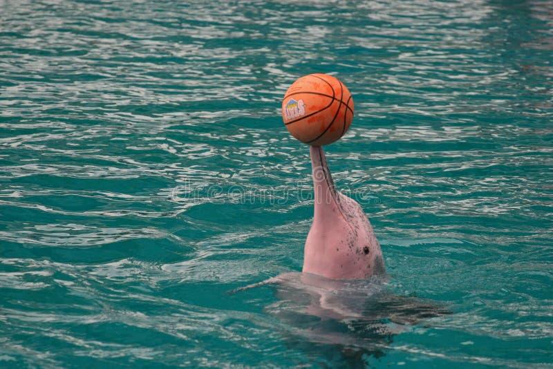 桃红色海豚,圣淘沙 库存图片