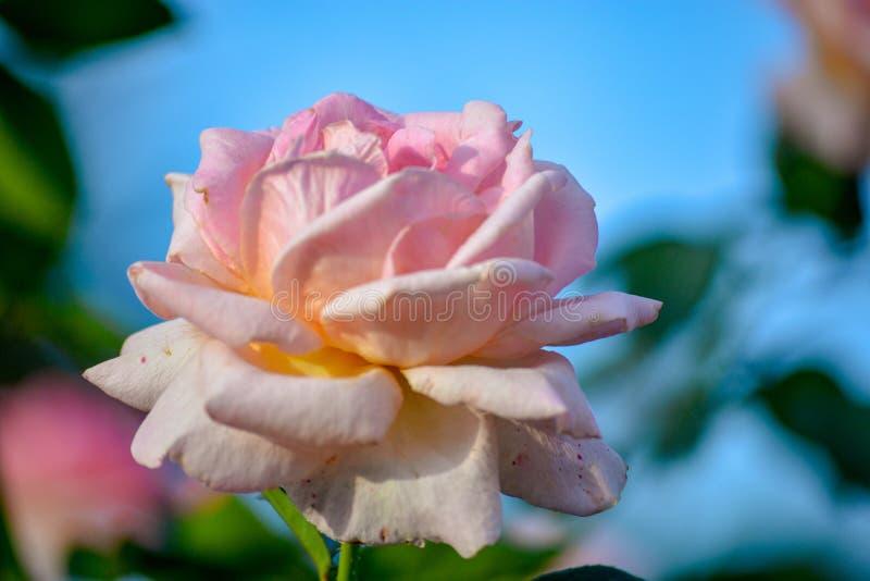 桃红色淡色玫瑰色在公园的花开花宏观瓣户外自然背景环境春天日落照明设备好日子 免版税库存图片