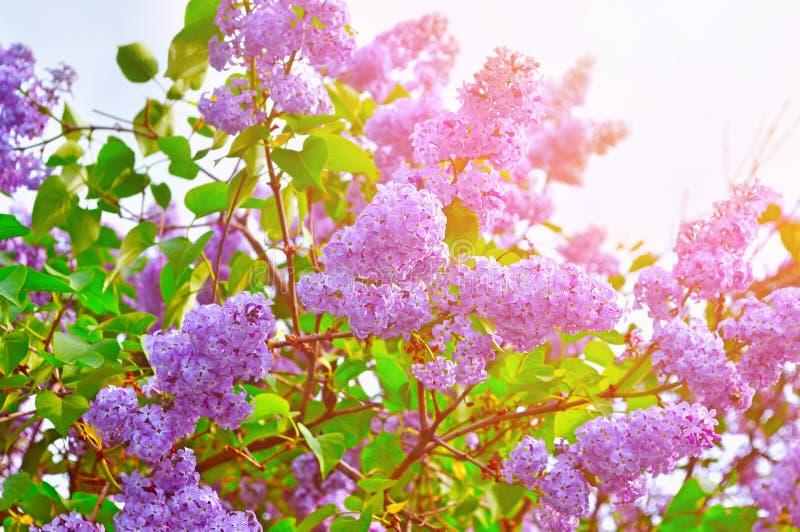 桃红色淡紫色花开花在温暖的阳光下的 库存照片