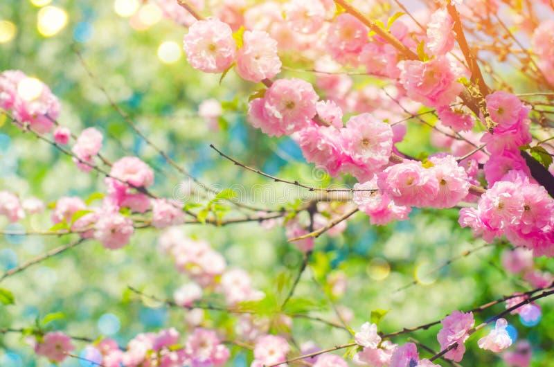 桃红色灌木在有桃红色花的春天开花 自然墙纸 春天的概念 设计的背景 免版税库存照片