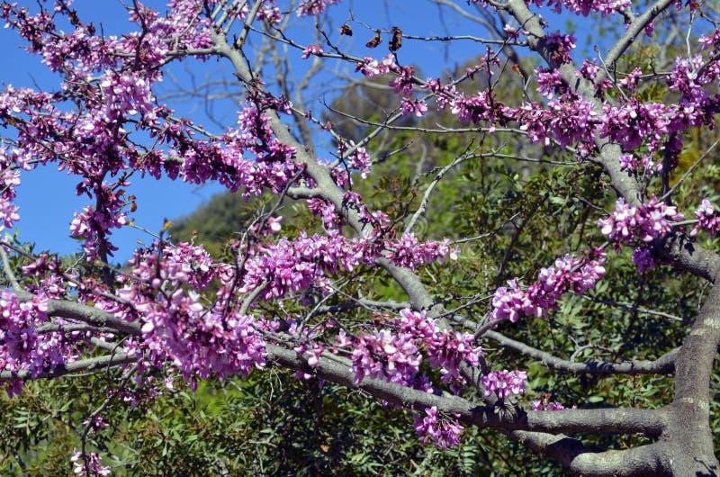 桃红色灌木开花在有桃红色花的春天 免版税图库摄影