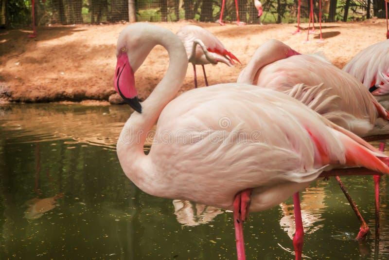桃红色火鸟在庭院里 免版税库存图片