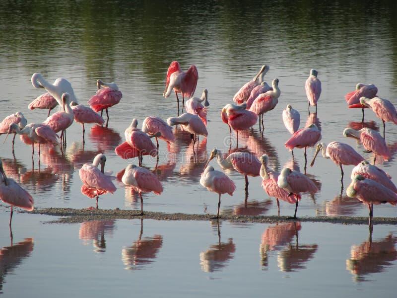 桃红色火鸟在水中 库存照片