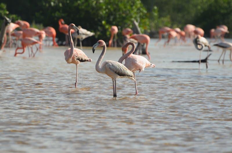 桃红色火鸟在他们的自然生态环境 免版税库存图片