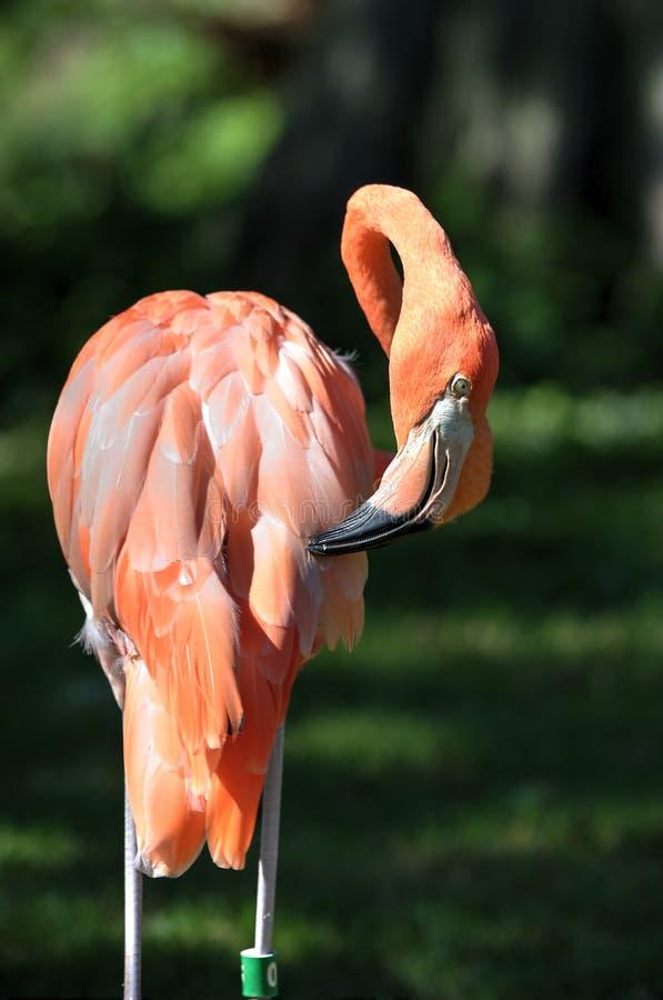 桃红色火鸟奥克拉荷马市动物园 库存图片
