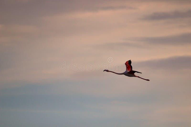 桃红色火鸟飞行在南法国 库存图片