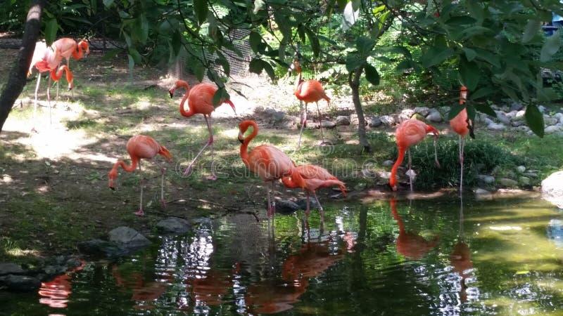 桃红色火鸟饮用水群  免版税库存图片