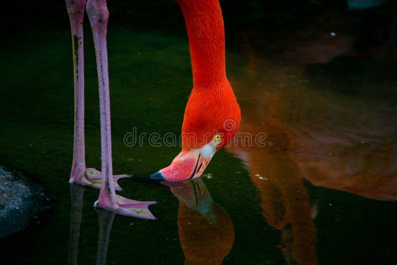 桃红色火鸟饮用水的照片 免版税库存照片