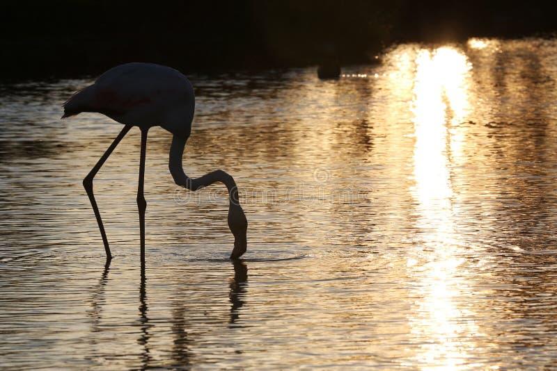 桃红色火鸟,在日落的后面光 库存图片