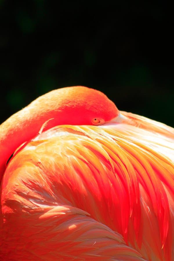 桃红色火鸟Cloeup在阳光下有黑背景 免版税库存图片