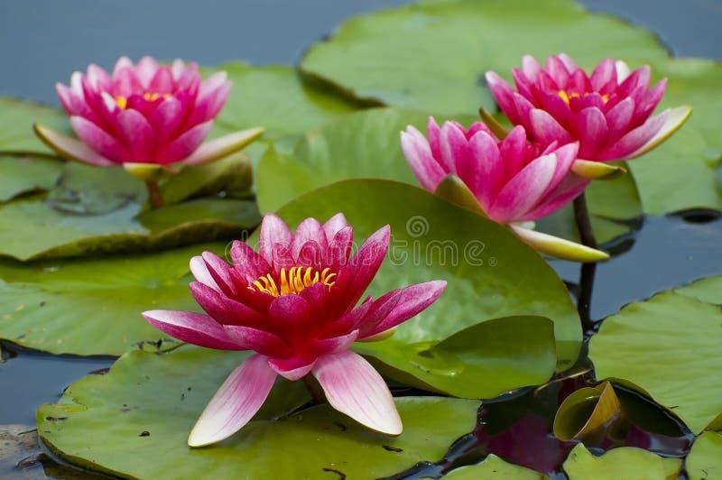 桃红色热带waterlily 免版税库存照片
