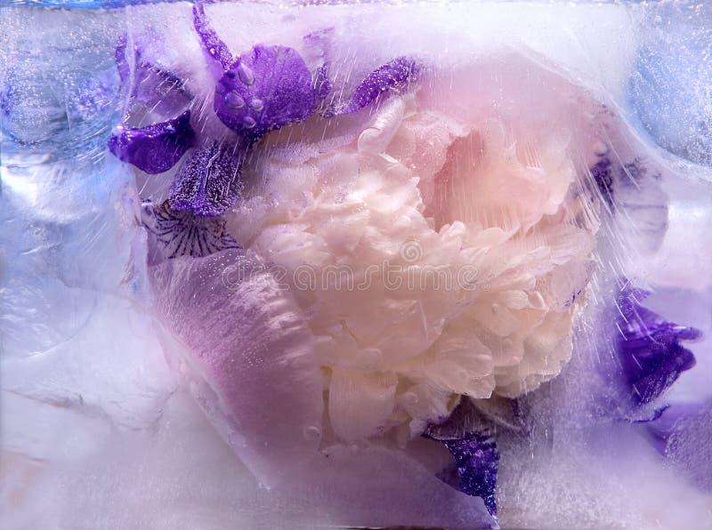 冻结桃红色牡丹和虹膜花 免版税图库摄影